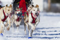 International dog sledding race dogs running at lanaudiere quebec canada Royalty Free Stock Image