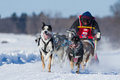 International Lanaudiere Dog sledding race Royalty Free Stock Photography