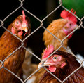 Internos da galinha Fotografia de Stock