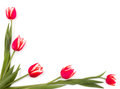 Intertwined red spring tulips frame with place for text isolated on white background