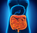 Intestinal internal organs illustration of d render Royalty Free Stock Photos