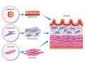 Intestinal wall cells