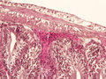 Intestine animal tissue