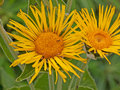 Inula magnifica flowers of the maginifica plant in uk in high summer Stock Photo