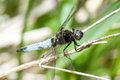 Invertebrate portrait scarce chaser dragonfly libellula fulva male on a reed stem after breeding Royalty Free Stock Images