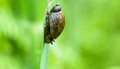 Invertebrate portrait wetland snail feeding on a reed stem in a wet fen Royalty Free Stock Images