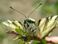 Iphiclides podalarius Royalty Free Stock Photography