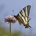Iphiclides podalirius, Scarce swallowtail Royalty Free Stock Photo
