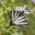 Iphiclides podalirius scarce swallowtail sail swallowtail pear tree swallowtail butterfly from western europe Royalty Free Stock Photos