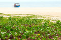 Ipomoea pes caprae sweet on a beach southern of thailand Royalty Free Stock Image