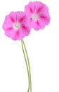 Ipomoea pink flowers Royalty Free Stock Photo