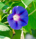 Ipomoea purpurea mauve, pink flower, the purple, tall, or common morning glory, close up. Royalty Free Stock Photo