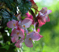 Iridescent Blossoms of Dragon Wing Begonias Royalty Free Stock Photo