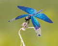 Iridescent blue dragonfly beautiful perched on a dry twig Stock Image