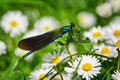 Iridescent damselfly a pretty green rests awhile on the small lawn daisies by the river Royalty Free Stock Image