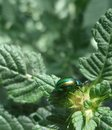Iridescent flower chafer and leaves in front of blurry back Stock Photography