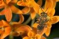 Iridescent sweat bee Stock Photography