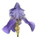 The iris Royalty Free Stock Photography