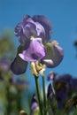 Iris against blue sky farpada Imagens de Stock