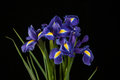 Iris on black background pourpre vibrante Photo libre de droits