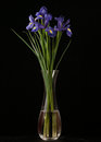 Iris on black background roxa vibrante Foto de Stock