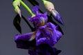 Iris on black Royalty Free Stock Photo