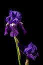 Iris on Black Royalty Free Stock Photo
