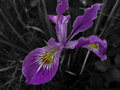 Iris in black and white and color Royalty Free Stock Photo