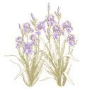 Iris bush on white backgrond Royalty Free Stock Photo