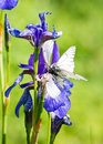 Iris and butterfly Aporia crataegi Royalty Free Stock Image