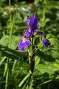 Iris close up bloom in garden Stock Photos