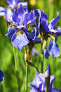Iris closeup of purple bearded Royalty Free Stock Image