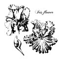 Iris flower. Black and white vector Royalty Free Stock Photo
