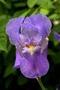 Iris flower - close up petals