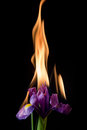 Iris flower on fire Royalty Free Stock Photo