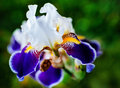 Iris flower on the flowerbed Stock Image