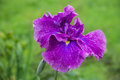 Iris flower violet japonica isolated Stock Photo