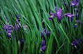 Iris Flowers Royalty Free Stock Photo