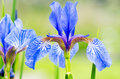 Iris flowers beautiful fresh close up Royalty Free Stock Photography