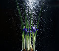 Iris flowers on a black background Royalty Free Stock Photo