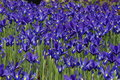 Iris flowers the in bloom Royalty Free Stock Photos