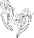 Iris flowers. Coloring page.