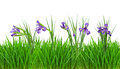 Iris flowers in  grass border. Isolated on white Stock Photography