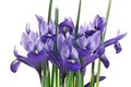 Iris flowers and leaves Royalty Free Stock Photo
