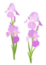Iris flowers lght purple on white background Stock Photo