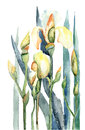 Iris flowers, watercolor illustration Royalty Free Stock Photo
