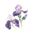 The iris flowers watercolor isolated