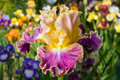 Iris on garden background Stock Images