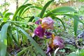 Iris germanica flowers and leaves in urban garden in urban yard. Royalty Free Stock Photo