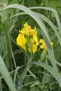 Iris lozhnoairovy blossoming iris pseudacorus l Stock Images